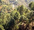 Pinus roxburghii Shimla.jpg