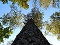 Pinus sylvestris Marki.JPG