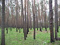 Pinus sylvestris wood.JPG