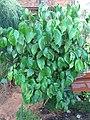 Piper amplifolium (Jardin des Plantes de Paris).jpg
