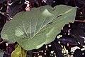 Piper auritum 17zz.jpg