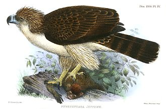 Philippine eagle - Illustration of a bird kept in captivity in London in 1909–1910
