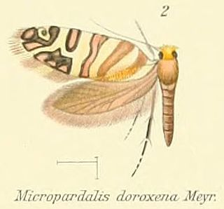 <i>Micropardalis doroxena</i> Moth species in family Micropterigidae