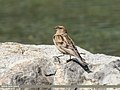 Plain Mountain Finch (Leucosticte nemoricola) (26515868629).jpg
