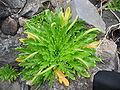 Plantago coronopus (Habitus) 2.jpg