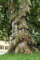 Platane Naturdenkmal Sachsen 02994 Bernsdorf Rathaus.jpg