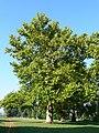 Platany Hlohovec - Plane-trees Hlohovec, Slovakia - panoramio (7).jpg