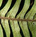 Pleopeltis thyssanolepis 4.jpg