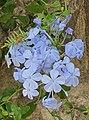 Plumbago auriculata-Pale blue flowers-Jerusalem.jpg
