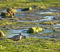 Pluvialis squatarola in winter plumage at Richardson Bay.jpg
