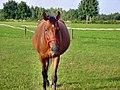 Podgaje, koń - panoramio (1).jpg