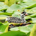 Podilymbus podiceps -Lake Washington, King County, Washington, USA -chick-8a.jpg