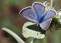 Polyommatus erotulus molleti.jpg