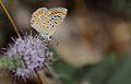 Polyommatus icarus (Female) - Çokgözlü Mavi.jpg