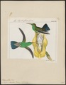 Polytmus sophiae - 1820-1860 - Print - Iconographia Zoologica - Special Collections University of Amsterdam - UBA01 IZ19100171.tif