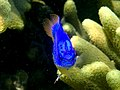 Pomacentrus sp. - Damsel fish (11006914923).jpg