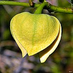 Pond Apple (Annona glabra) (7140432567).jpg