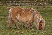 poney obese