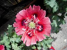 Papaver somniferum wikipedia a red opium poppy flower used for ornamental purposes mightylinksfo Gallery