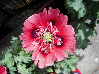 Papaver somniferum - A red opium poppy flower used for ornamental purposes