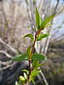 Populus trichocarpa new leaves in spring 1.jpg