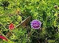 Portulaca Grandiflora (Ara alas dose).jpg