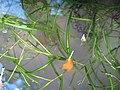 Potamogeton berchtoldii plant (01).jpg