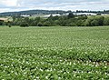 Potatoes and polytunnels - geograph.org.uk - 876934.jpg