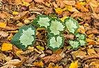 Prachtig nieuw blad van Cyclamen hederifolium tussen herfstbladeren van bomen 01.jpg