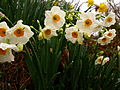 Pretty-flowers-spring-daffodils-smell-good - West Virginia - ForestWander.jpg