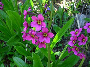 Primula parryi - Image: Primula parryi