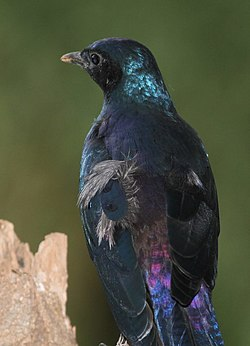 Probably Burchell's Starling or Burchell's Glossy-starling, Lamprotornis australis (13982293882).jpg