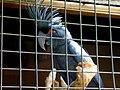 Probosciger aterrimus -upper body -in a cage.jpg