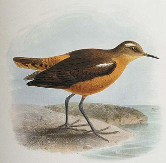 Tahiti sandpiper - Restoration by Keulemans