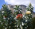 Protea nitida - Kogelberg Mnts - South Africa 6.jpg