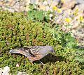 Prunella collaris erythropygia and Empetrum nigrum subsp. asiaticum.jpg