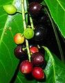 Prunus laurocerasus. Llorera.jpg
