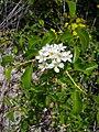 Prunus mahaleb flower2.JPG