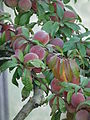 Prunus persica Nahaufnahme 2011.JPG