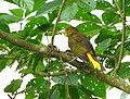 Psarocolius angustifrons -Aragua State -Venezuela-8b.jpg
