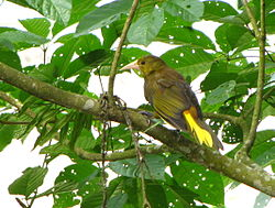 Brunoropendola