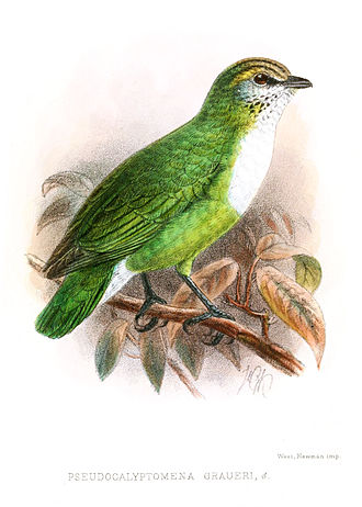Grauer's broadbill - Image: Pseudocalyptomena Graueri Keulemans