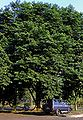 Pteroc indic 071125 1716 ipb.jpg