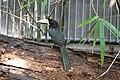Pteroglossus azara -Philadelphia Zoo, Pennsylvania, USA-8a.jpg