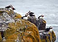 Puffins on The Isle of May - geograph.org.uk - 1341439.jpg