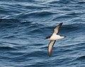 Puffinus puffinus -Iceland -flying-6 (1).jpg