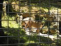Puma in Zoo Salzburg - panoramio.jpg
