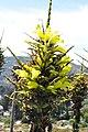 Puya chilensis Zapallar 01.jpg