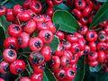 Pyracantha coccinea FruitsCloseup DehesaBoyaldePuertollano.jpg