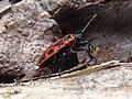 Pyrrhocoris apterus Paludi 02.jpg